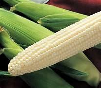 unshucked silver queen corn