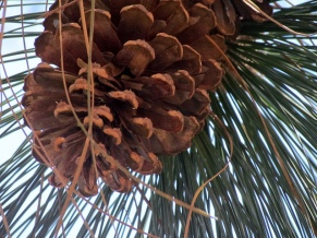 longleaf-pinecone