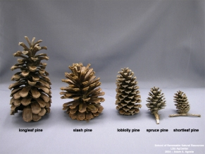 pine-cones-from-mr-lsu-edu