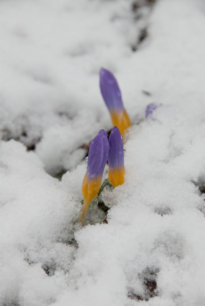 sally-smith-crocus-in-the-snow