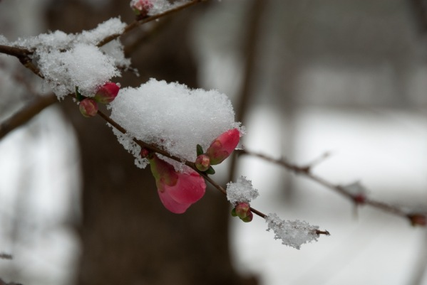 sally-smith-flowering-quince-with-snow