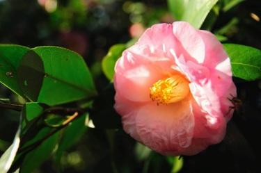 camellia 10 jeremy with bug