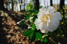 camellia 2 jeremy