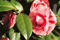 camellia 4 jeremy
