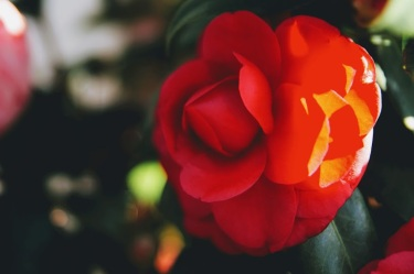 camellia 6 jeremy