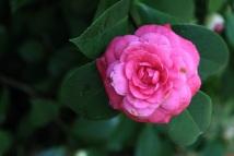 camellia 7 jeremy