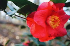 camellia 8 j