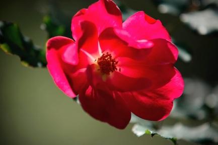 camellia 9 j