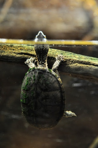 turtle jeremy 1